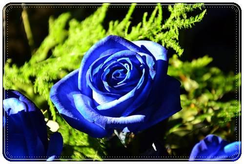 Красивые голубые цветы